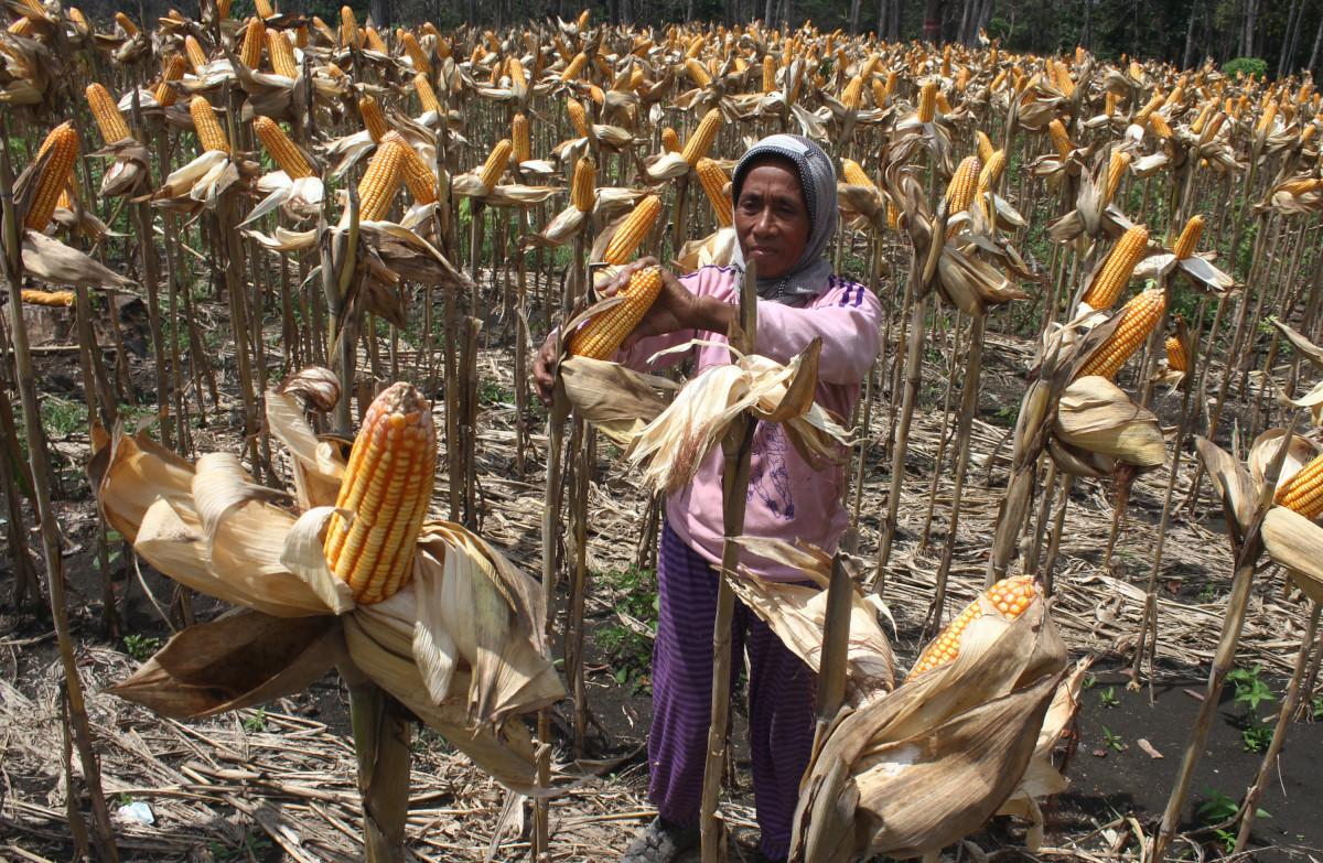 Petani penggarap memanen jagung dengan produksi sekitar 8 ton per hektar di lahan hutan petak 81 B, RPH Gelon, KPH Ngawi, Jawa Timur, Selasa (23/2). Sebanyak 399,3 hektare dari lahan hutan seluas 3.000 hektar di kawasan tersebut dimanfaatkan sebagai lahan jagung untuk memaksimalkan potensi hasil hutan sekaligus membantu ekonomi masyarakat petani tepi hutan. ANTARA FOTO/Ari Bowo Sucipto/aww/16.