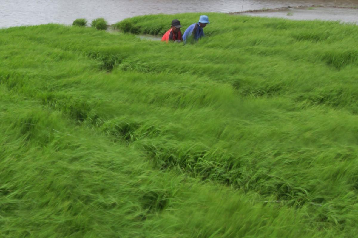 Sejumlah petani mencabut benih padi untuk ditanam di areal sawah Desa Pabean udik, Indramayu, Jawa barat, Minggu (4/1). Untuk mencapai target Swasembada pangan, Pemerintah menyalurkan subsidi benih padi sebesar 50.000 ton benih atau senilai Rp. 700 miliar. ANTARA FOTO/Dedhez Anggara/Rei/Spt/15.
