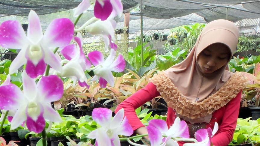 antarafoto budidaya bunga anggrek ysw 2 ratio 16x9 JPG