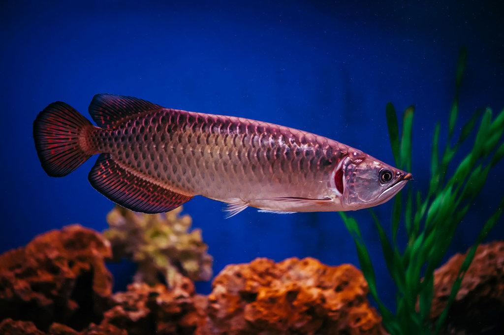 Mengenal Jenis Ikan Arwana, Harga, & Ciri-cirinya - Tirto.ID