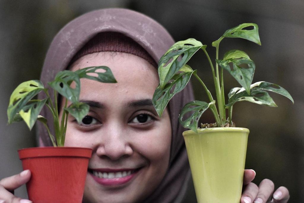 Tren Tanaman Hias 2020 Janda Bolong Sri Rejeki Dan Mangave Tirto Id