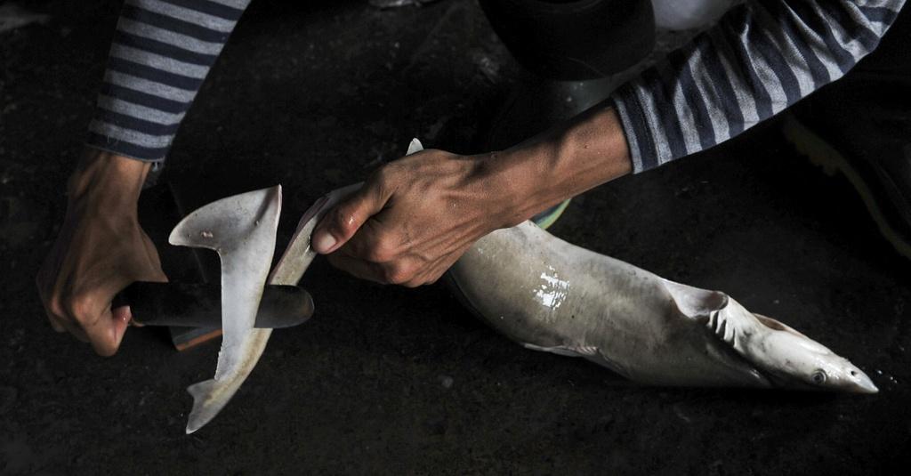 LIPI Rekomendasikan Kuota Penangkapan 80 Ribu Hiu Tahun Ini