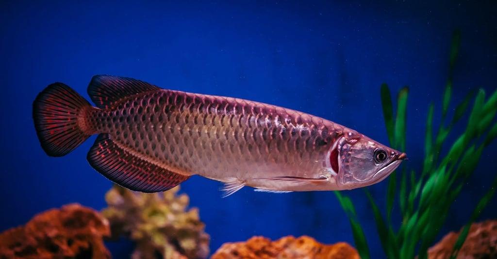 Mengenal Jenis Ikan Arwana Harga Ciri Cirinya Tirto Id