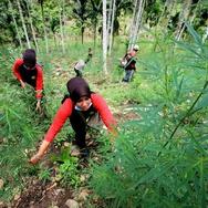 Dua Hektare Kebun Ganja Ditemukan Pasukan TNI-Polisi di Aceh
