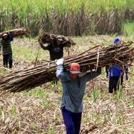 APTRI Nilai Patokan Harga Gula Pemerintah Rugikan Petani