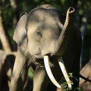 Petani Karet di Riau Tewas Diamuk Gajah Liar