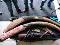 76 Kilogram Gading Gajah Gagal Diselundupkan di Afrika Selat