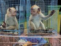 Menyelamatkan Primata Langka Bukan Perkara Eksotisme Semata