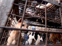 Bisnis Daging Anjing Bernilai Miliaran
