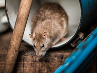 Tikus-tikus yang Menghantui Kota