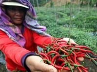 Dari Lidah Sampai Vagina, Hikayat Cabai Memedaskan Nusantara