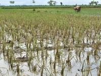 Sawah Rusak Akibat Banjir di Ngawi