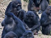 Monyet Selfie Sulawesi Terancam Punah