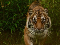 Harimau Liar Berkeliaran di Pemukiman Warga Indragiri Hilir