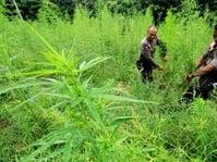 TNI dan Polri Oksibil Papua Lakukan Pemusnahan Ladang Ganja