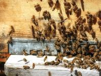 Pestisida yang Mengancam Lebah dan Kita Semua