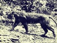 Usaha-Usaha Mencari Harimau Jawa