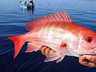 Tak Perlu Terpaku pada Ikan Dori Palsu