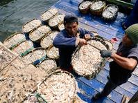 Tangkapan Ikan Beseng-beseng Melimpah
