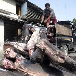 Bisnis Pengolahan Daging Ikan Hiu di Jakarta Utara