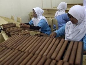 Produksi Cerutu Havana di Jember