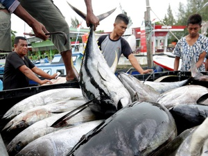 KKP Kaji Regulasi Pengelolaan Ikan Tuna Guna Atasi Eksploitasi