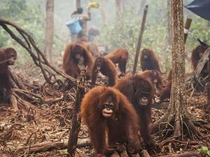 Yang Terjadi Bila Orangutan Punah