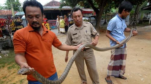 Penyebab Fenomena Munculnya Ular Kobra Di Citayam Jakarta Klaten