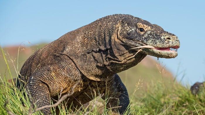 Komodo (Varanus komodoensis) dengan mulut terbuka. Ini adalah kadal hidup terbesar di dunia, Indonesia. Pulau rinca. FOTO/Istock