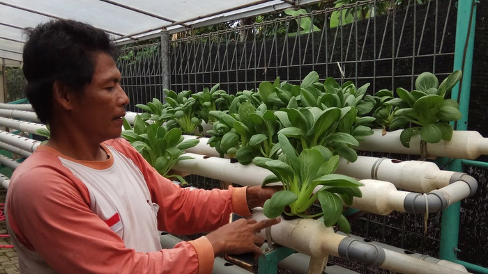Ana (42 tahun) seorang petani hidroponik di Karawang sedang memanen hasil taninya, Sabtu (30/12). tirto.id/Jay Akbar
