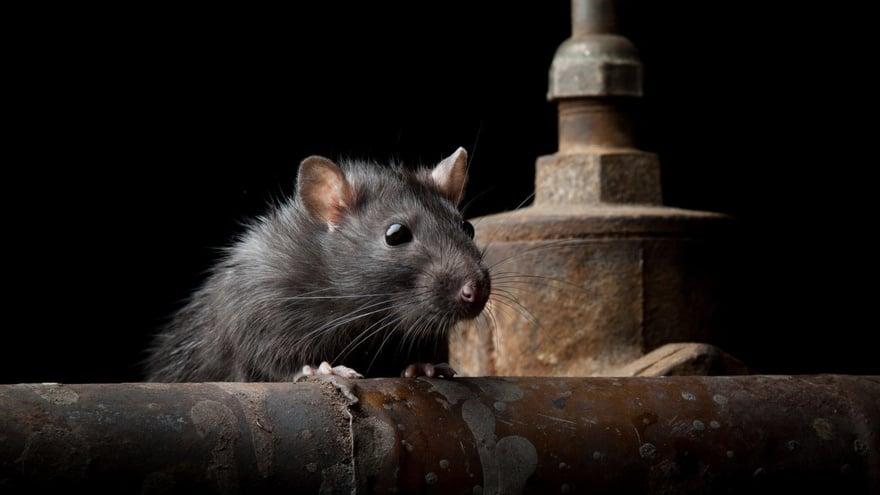 Ahok Akan Basmi Tikus-tikus Jakarta