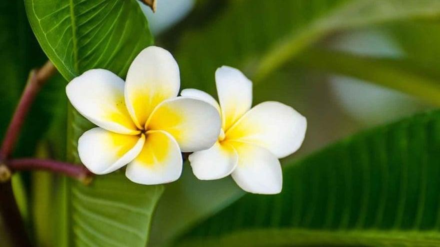 Kenali 5 Manfaat Minyak Bunga Kamboja Bagi Kesehatan Tirto Id