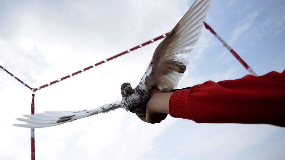 1080+ Foto Gambar Burung Merpati Gagah   Gratis